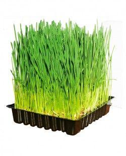 Stap 6 - Geniet van je verse oogst kiemgroenten